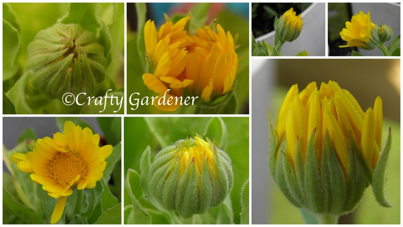 calendulabloom5