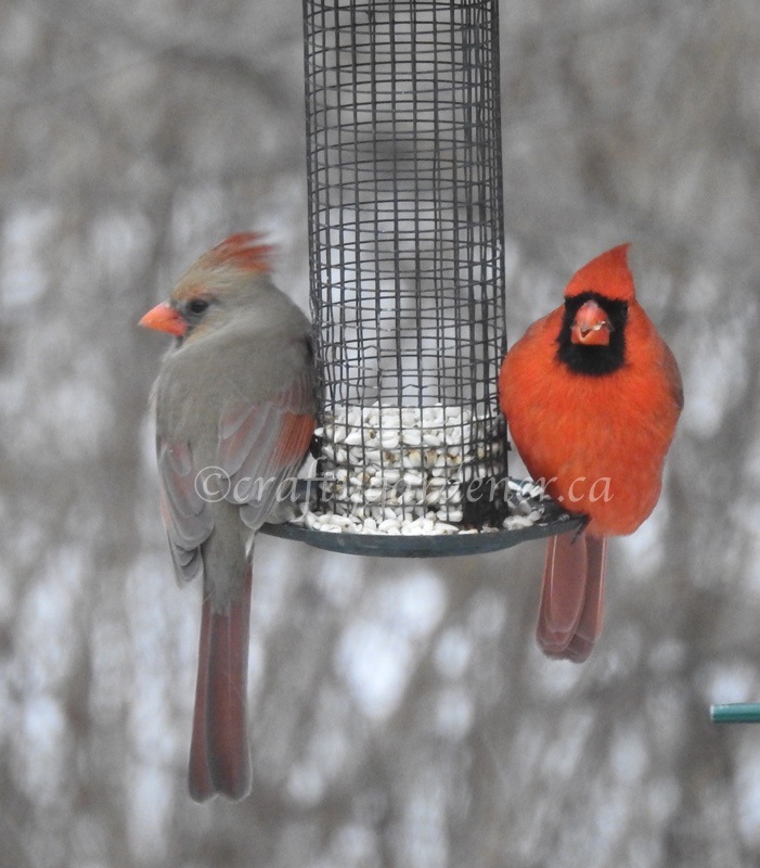 male and female cardinals at craftygardener.ca