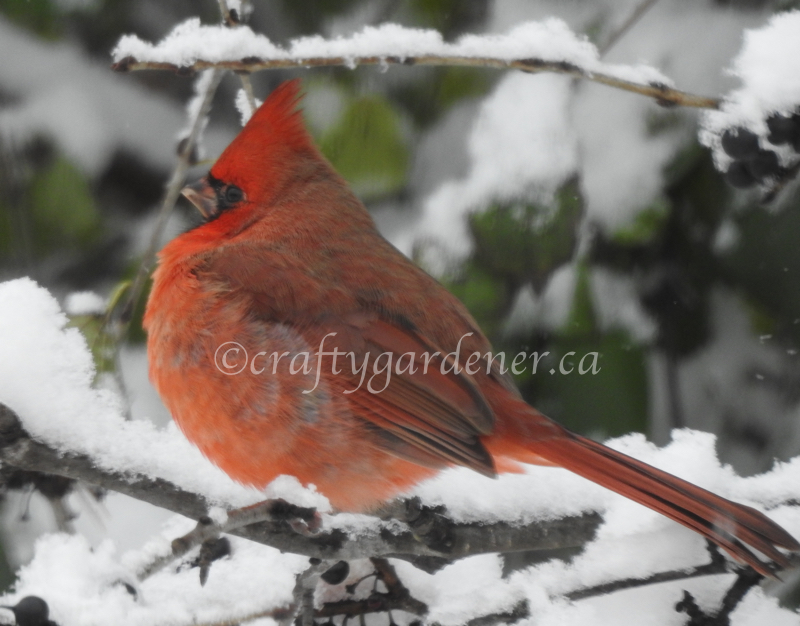 the male cardinal at craftygardener.ca