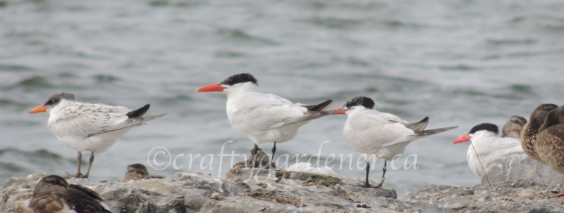 caspian terns at craftygardener.ca
