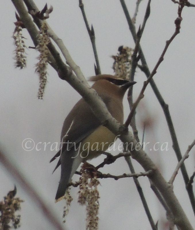 cedar waxwings in the garden on April 8, 2020 at craftygardener.ca