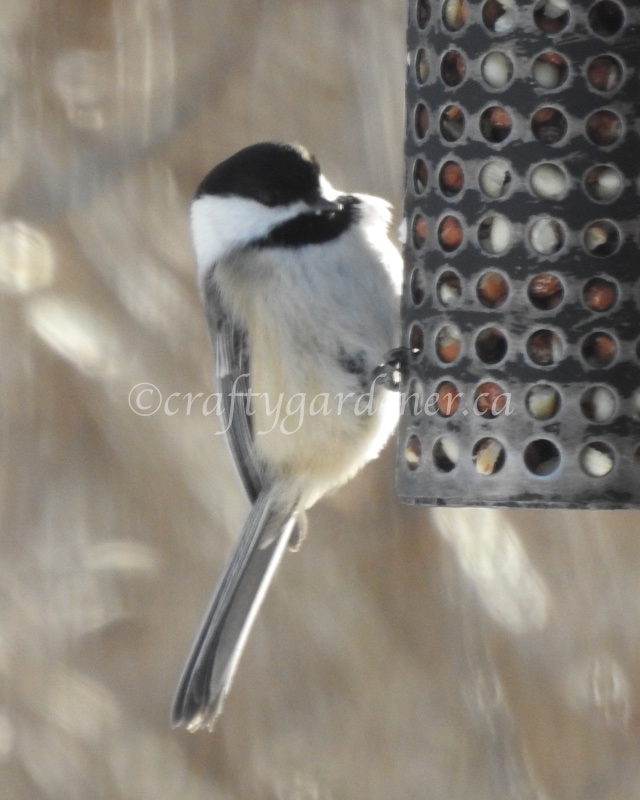 black capped chickadee at craftygardener.ca