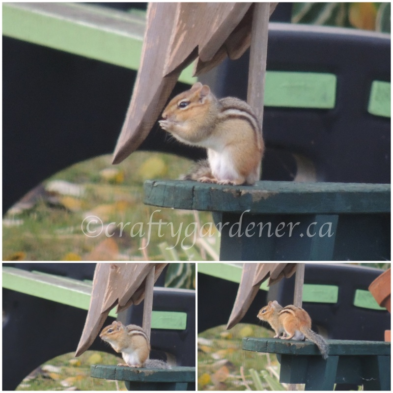 Chippy enjoying a break from gathering seeds for the winter at craftygardener.ca