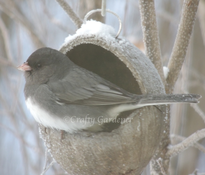 a junco at the a coconut feeder at craftygardener.ca