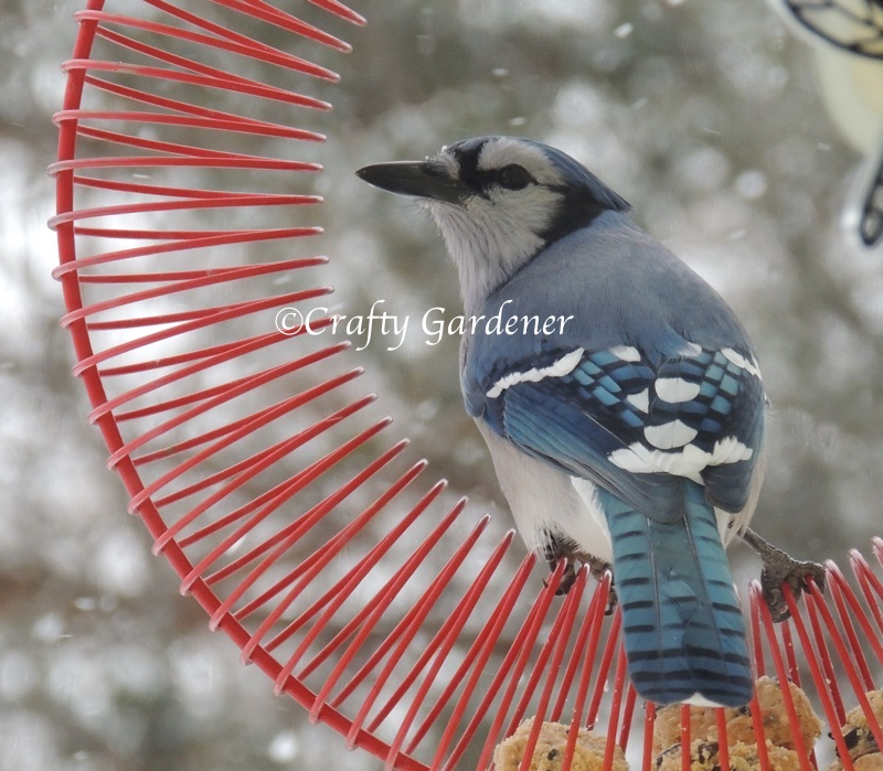 bluejay at the coil feeder at craftygardener.ca