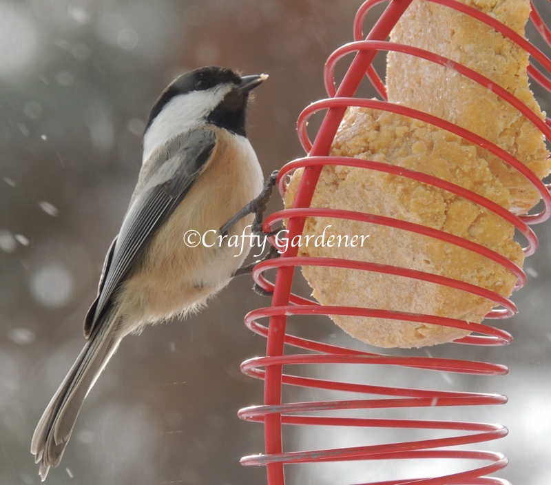 chickadee at the coil feeder at craftygardener.ca