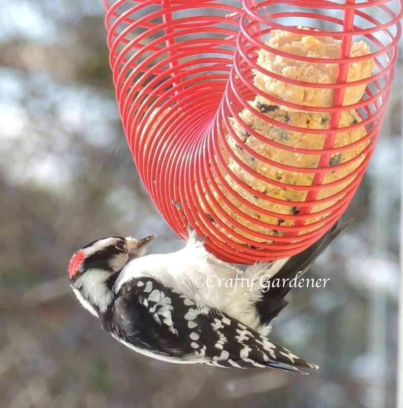 downy woodpecker at the coil feeder at craftygardener.ca