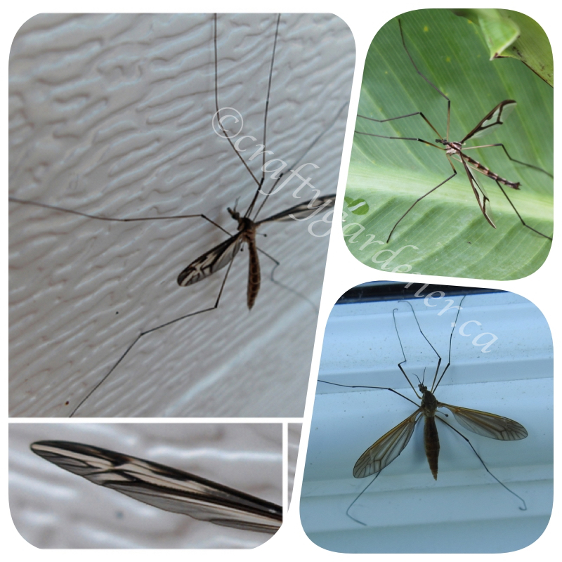 the crane fly at craftygardener.ca