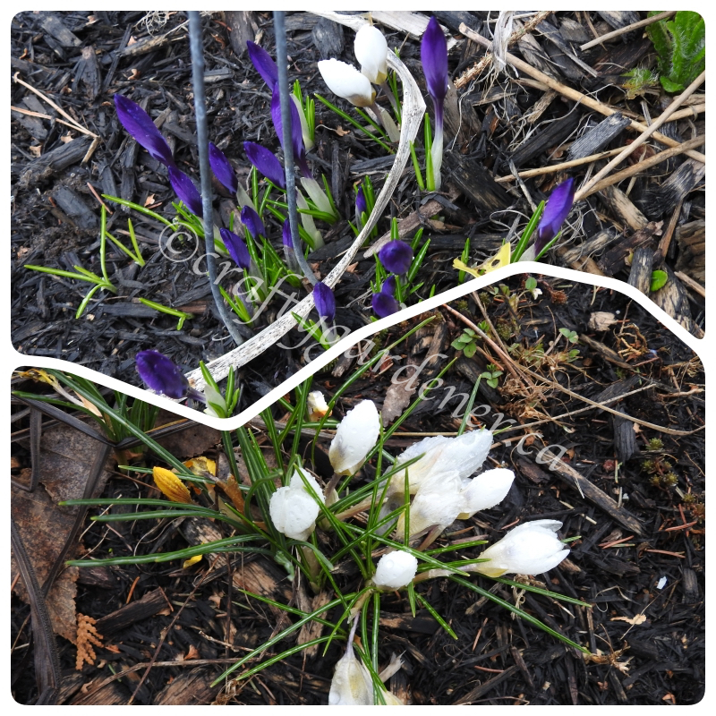 crocus in the garden April 2020 at craftygardener.ca