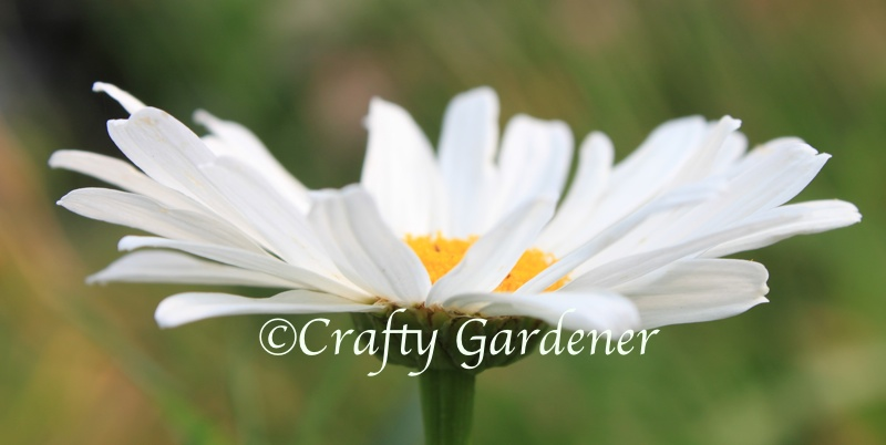 shasta daisy at craftygardener.ca
