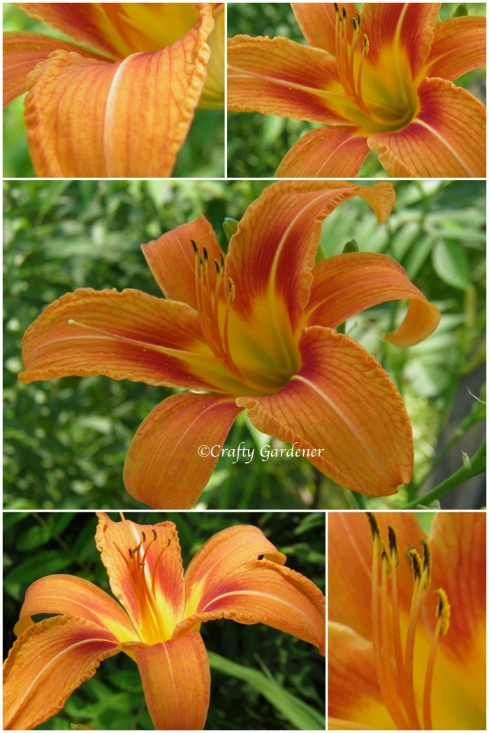 daylilies at craftygardener.ca