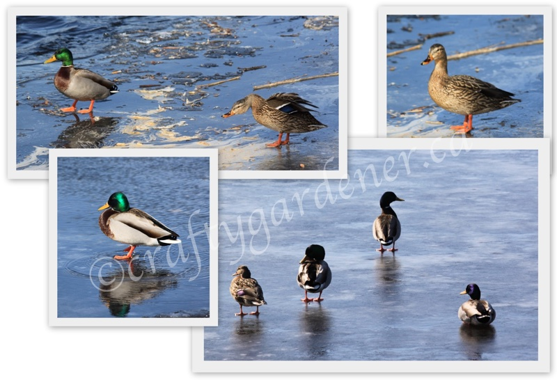 mallard ducks in winter on the Bay of Quinte