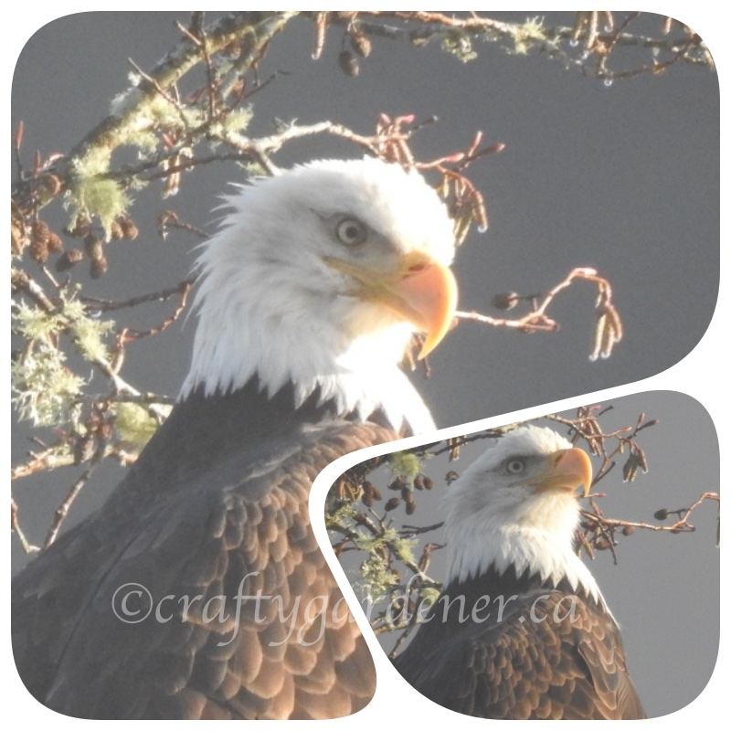Photographing eagles at Goldstream Provincial Park, Victoria BC ... craftygardener.ca