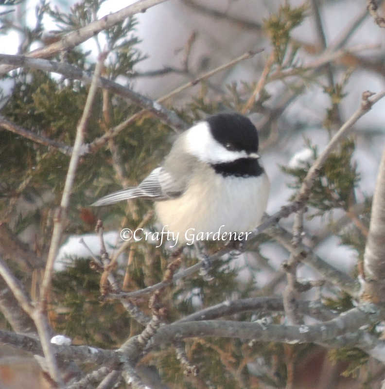 feb12chickadee1a