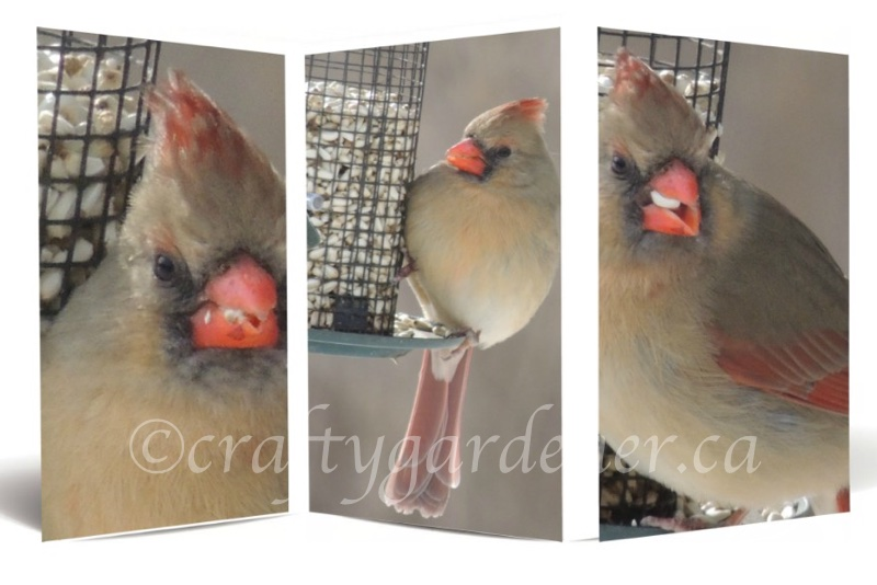 female cardinal at craftygardener.ca