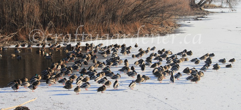 mallard ducks down by the Bay of Quinte