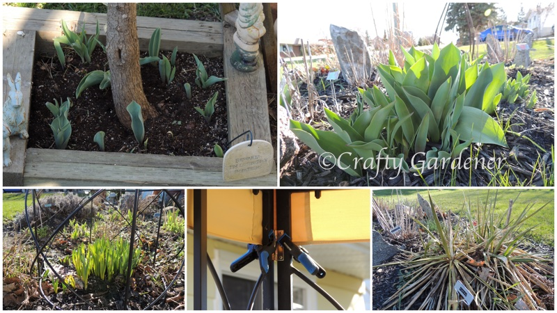spring garden growth at craftygardener.ca