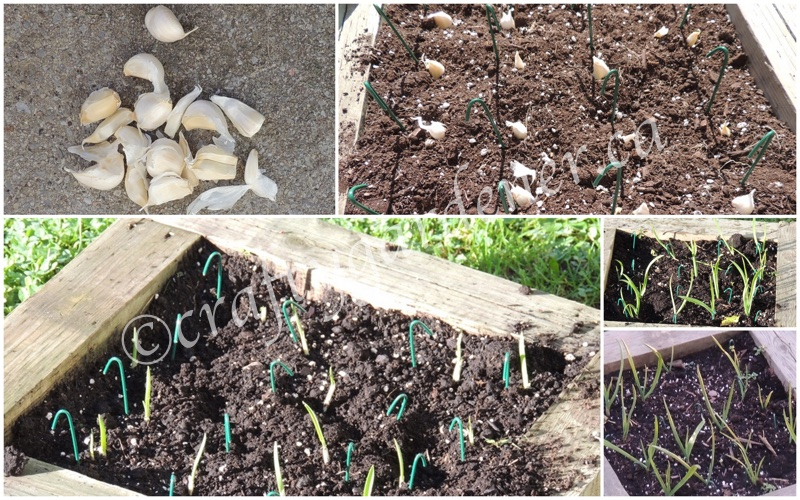 garlic growing at craftygardener.ca