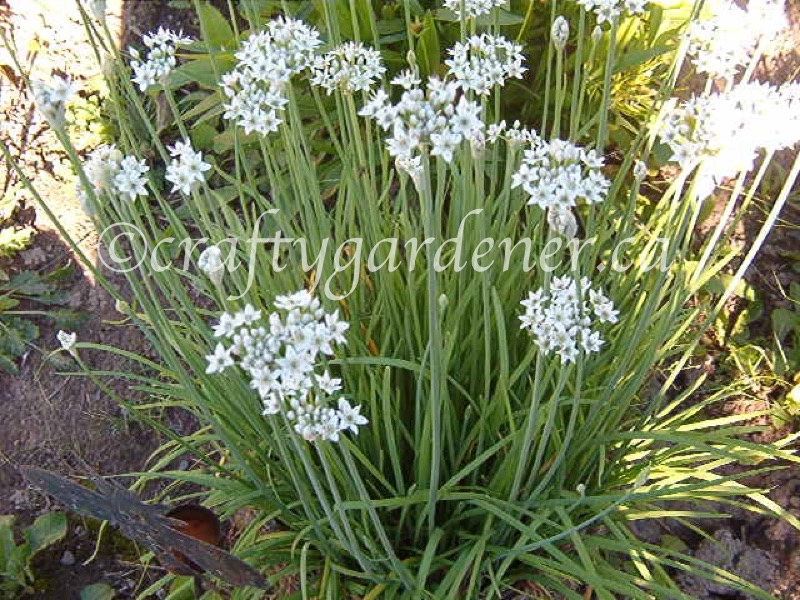 garlic chives at craftygardener.ca