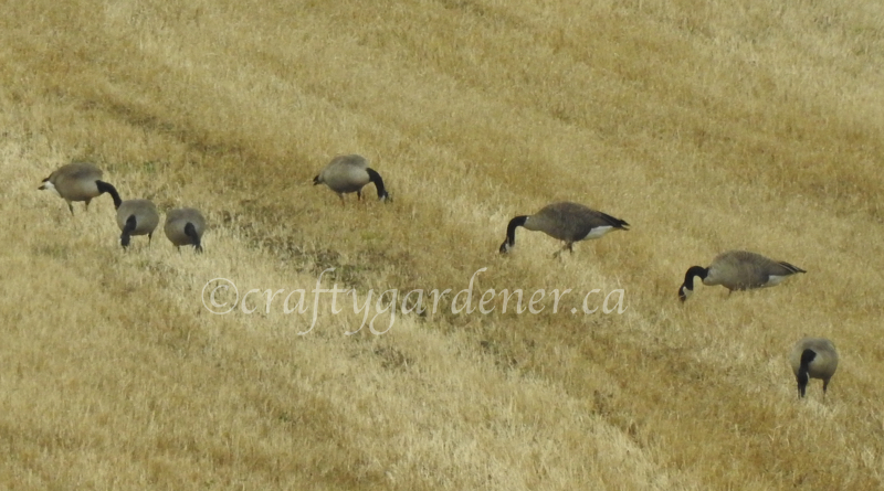Canada Geese foraging in the field at craftygardener.ca