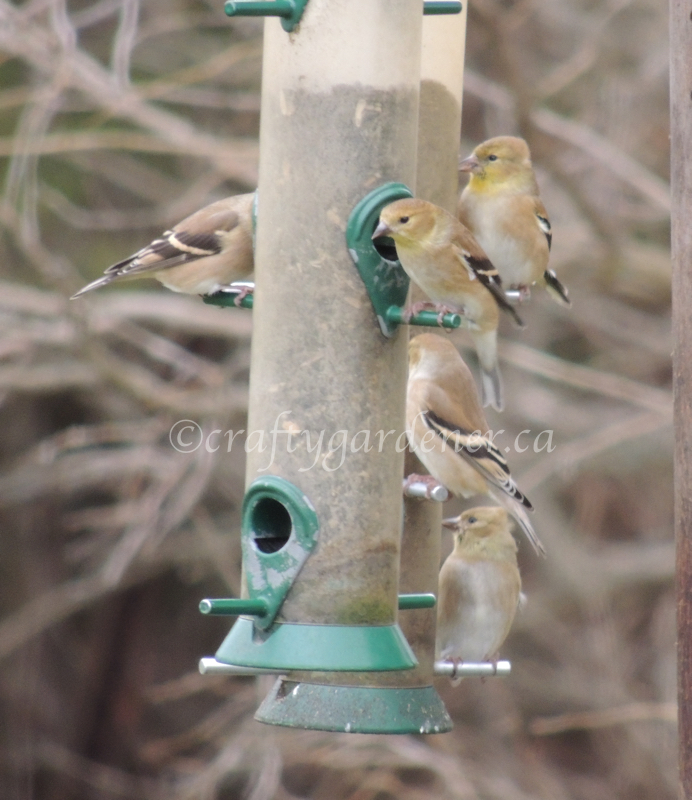 goldfinches at craftygardener.ca