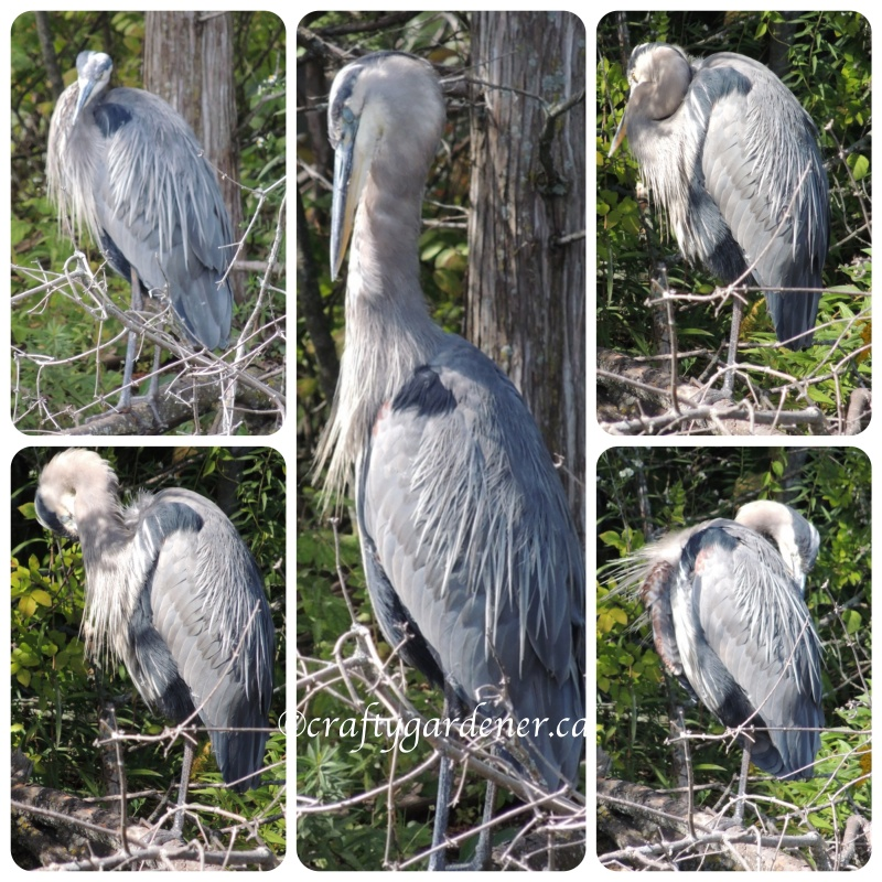 great blue heron at the Reid's Dairy pond September 14, 2014 - craftygardener.ca