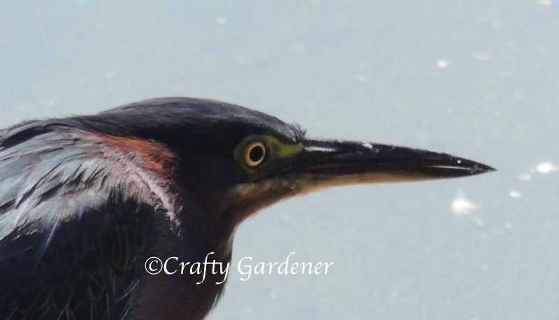 photographing the green heron at craftygardener.ca