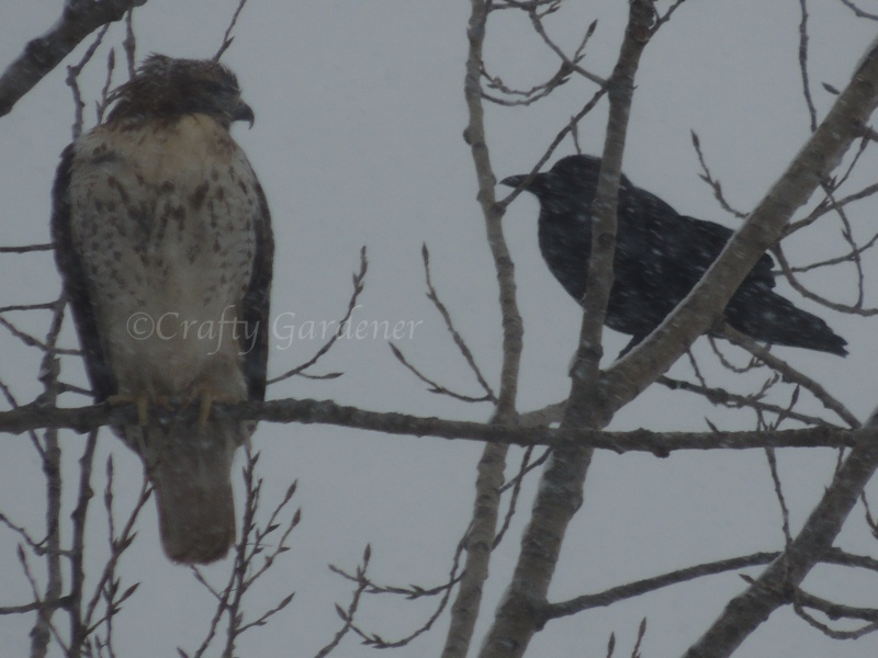 hawk and friend