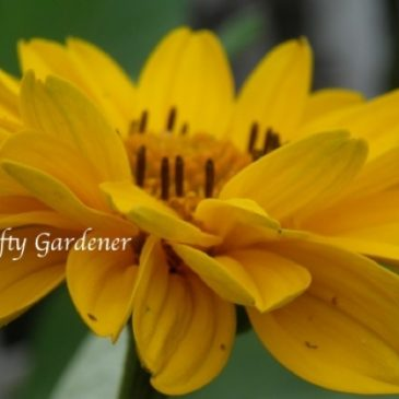 H for Heliopsis