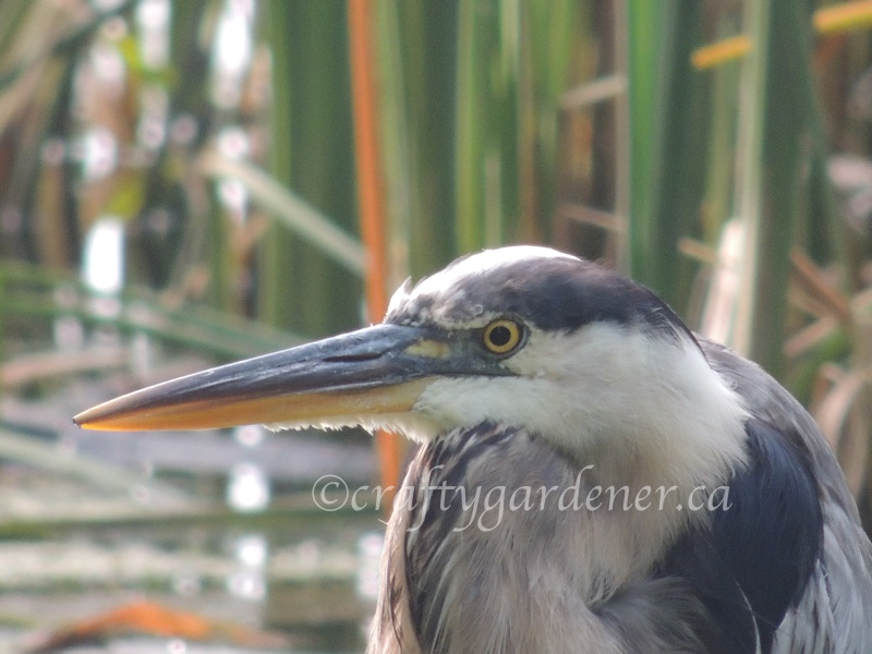 great blue heron at craftygardener.ca