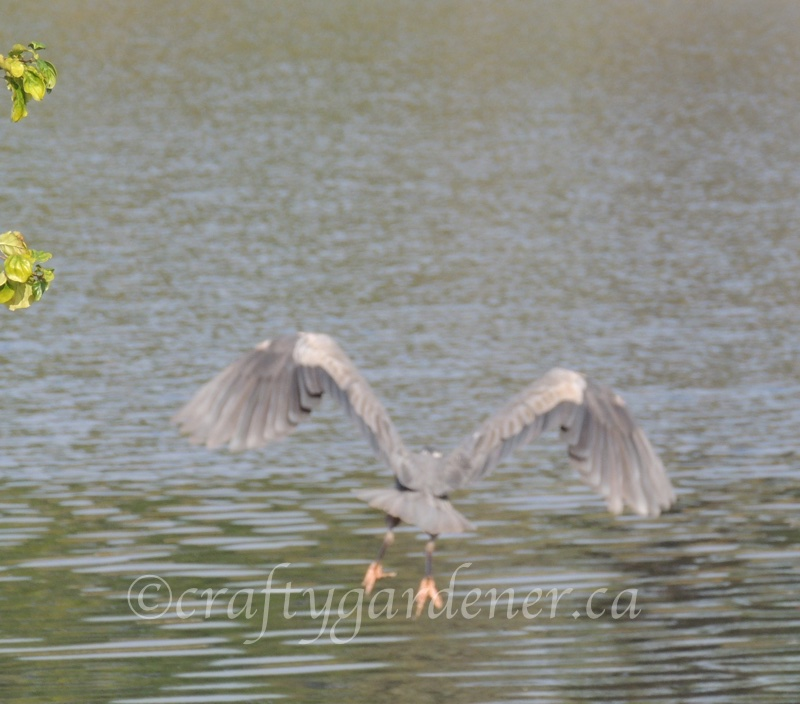 the heron in flight captured by craftygardener.ca