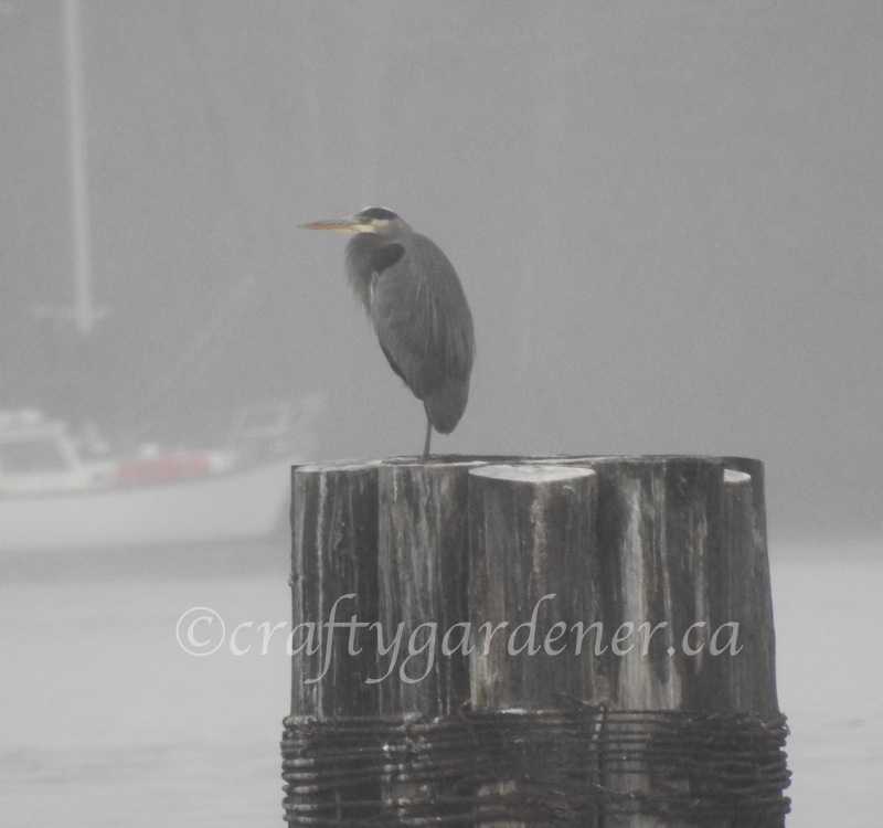 the great blue heron at Whiffen Spit in December 2017, photo taken by craftygardener.ca
