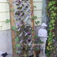 purple hyacinth bean vine at craftygardener.ca