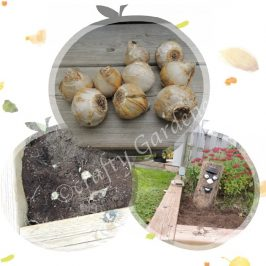planting hyacinth bulbs at craftygardener.ca