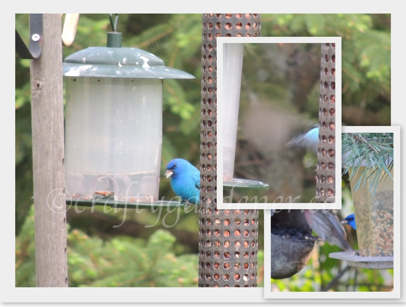 indigo bunting at craftygardener.ca