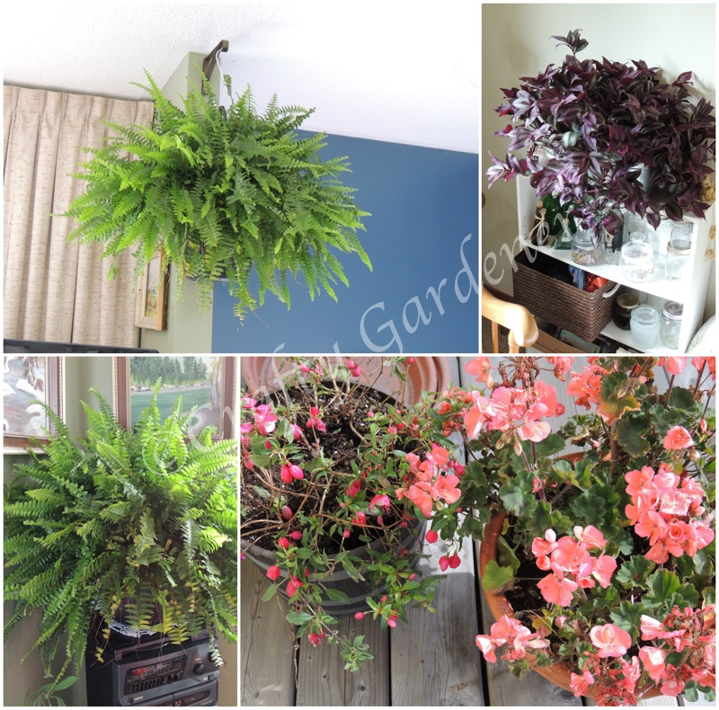 outdoor plants brought inside for the winter at craftygardener.ca