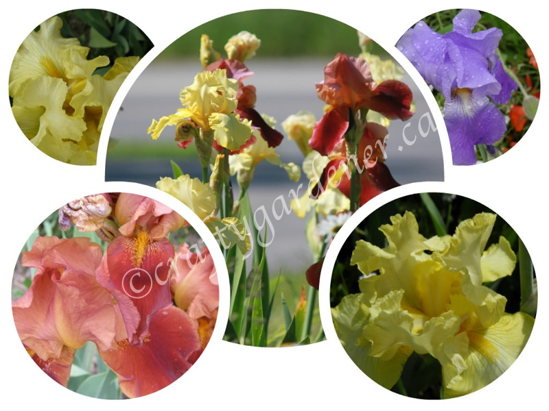 iris varieties at craftygardener.ca