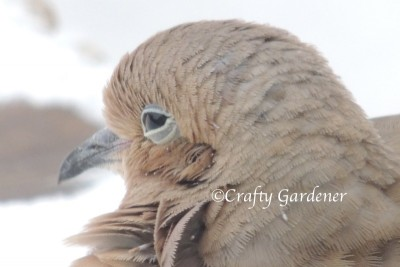 mourning doves at craftygardener.ca