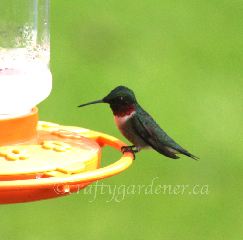 a hummingbird at the feeder at craftygardener.ca