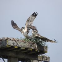 Osprey Wings