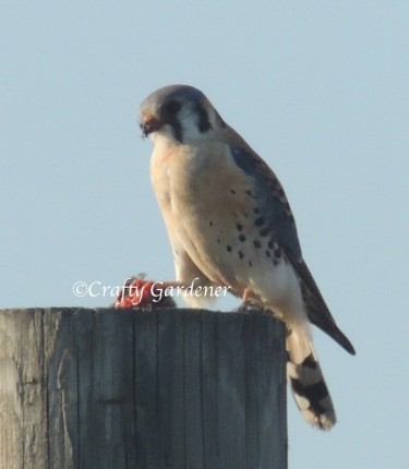 kestrel at craftygardener.ca