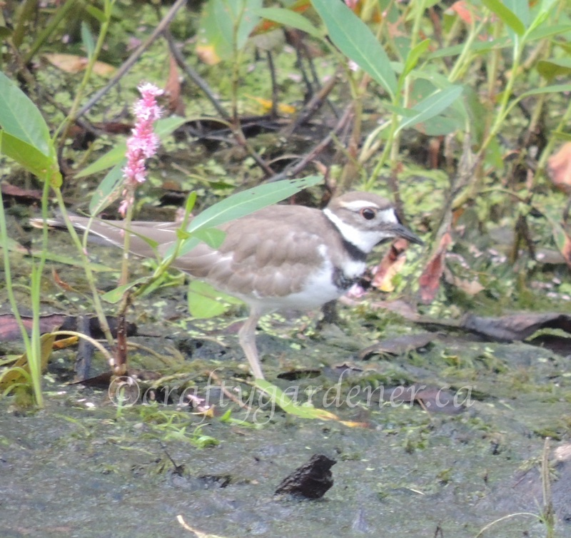a killdeer down by the Bay of Quinte, photo by craftygardener.ca