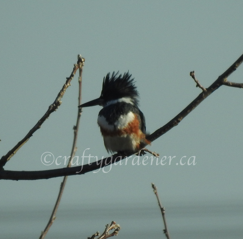 the female belted kingfisher at craftygardener.ca