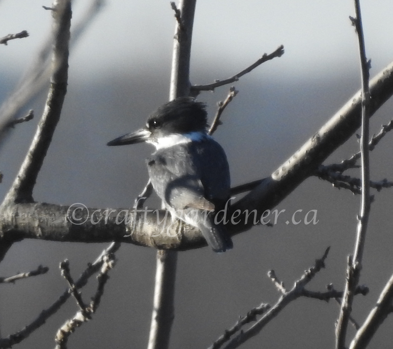 the male belted kingfisher at craftygardener.ca