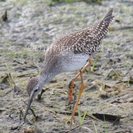 lesser yellowlegs by the Bay of Quinte spotted by craftygardener.ca