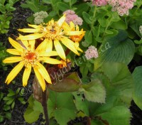 growing ligularia at craftygardener.ca