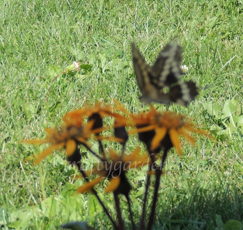 a swallowtail butterfly on the ligularia at craftygardener.ca
