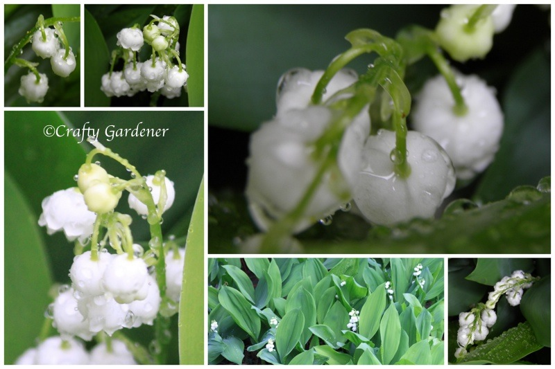 lily of the valley at craftygardener.ca