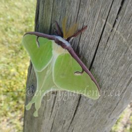 the luna moth at craftygardener.ca