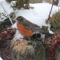 robins at craftygardener.ca